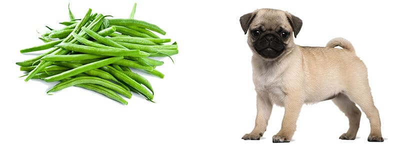 can Pugs eat green beans