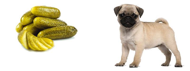 can pugs eat pickles
