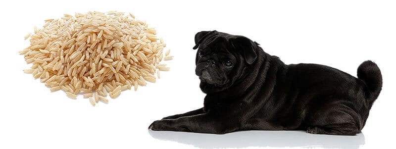 can pugs eat rice