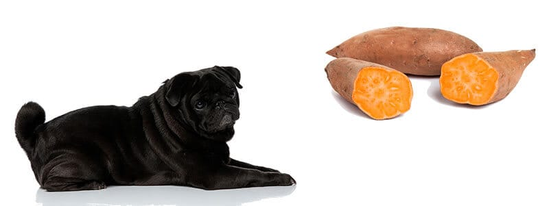 can pugs eat sweet potatoes