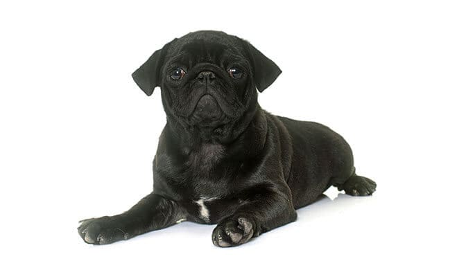 cute black pug names