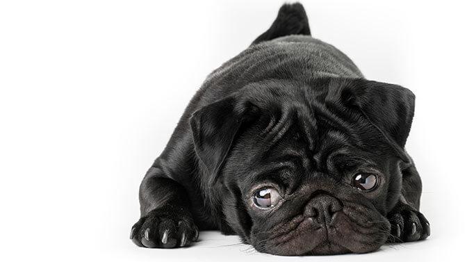 cute pug names beginning with n