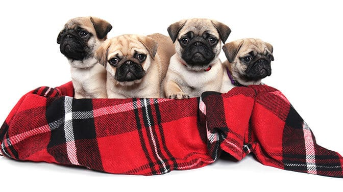 cute Pug names starting with L