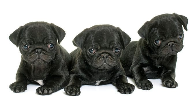 cute Pug names starting with R