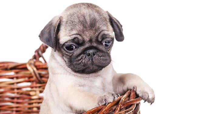 fawn boy Pug names