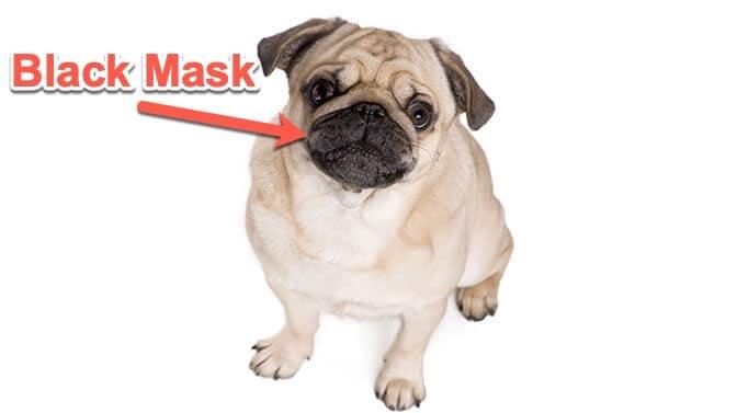 fawn pug black mask