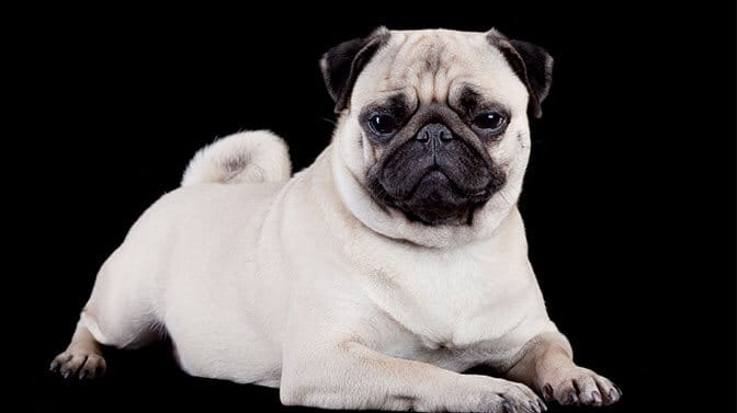 male pug names that start with T