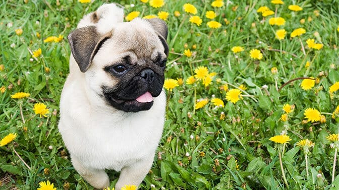 Pug dog names starting with K