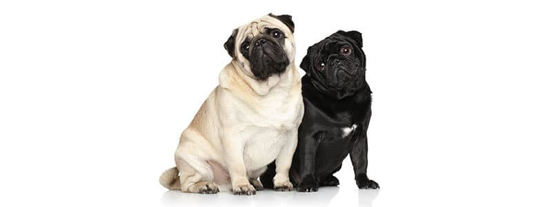 pug names that start with t