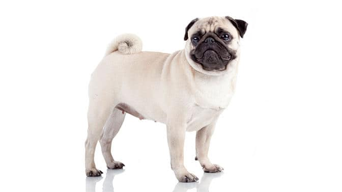 unusual big dog names for Pugs