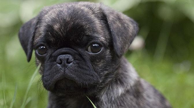 brindle themed Pug dog names
