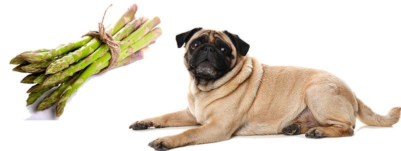 can Pugs eat asparagus