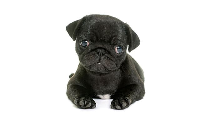 cute girl Pug names