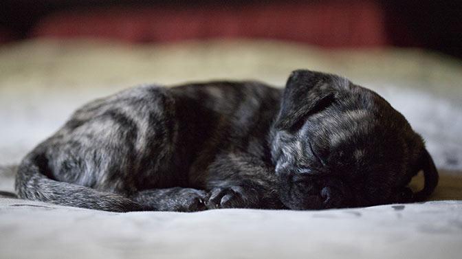 cute unique brindle Pug names