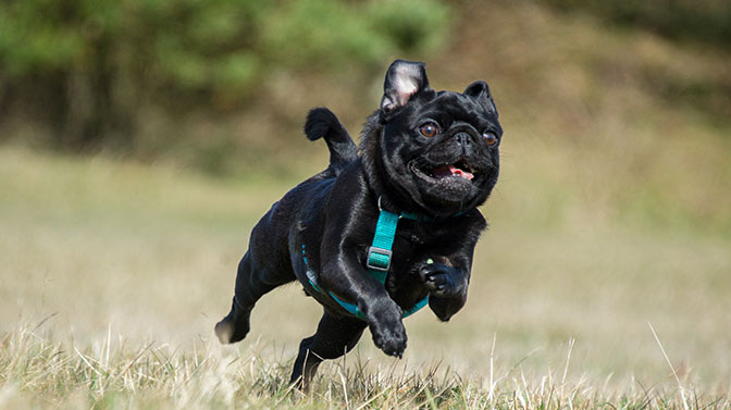 how much exercise can a Pug handle