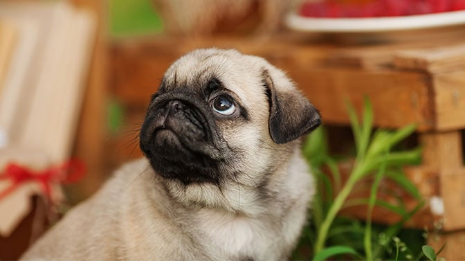 how to stop a pug from digging