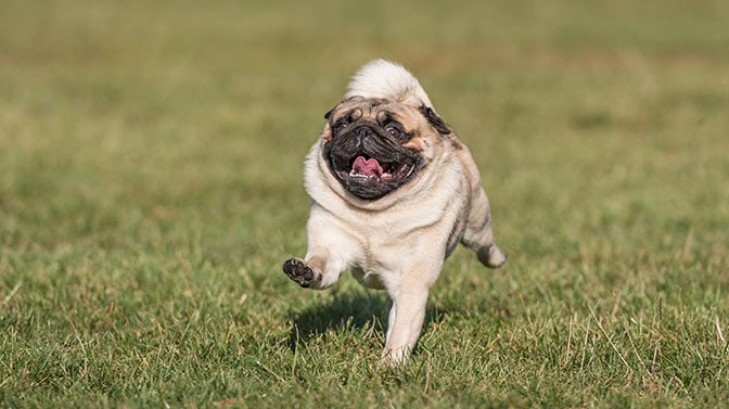 how to train a Pug to run