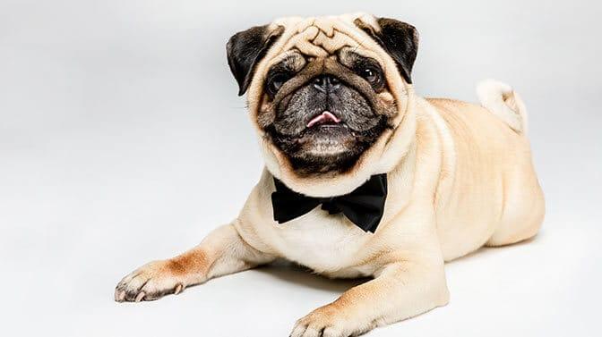 O Pug names male