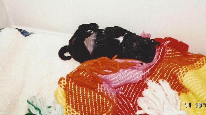 pug exposing their belly