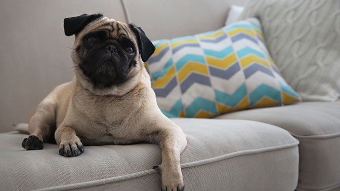 pug licking microfiber couch