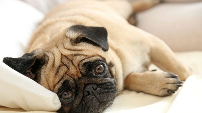 Pug sleeping position
