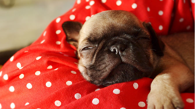 pug sleeping with their owner
