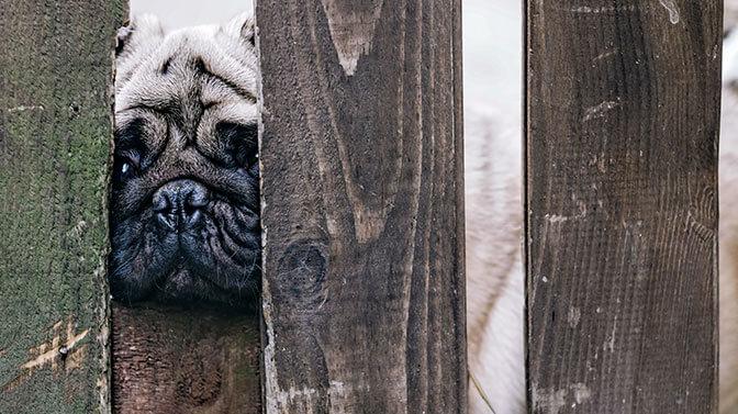 pug smelling