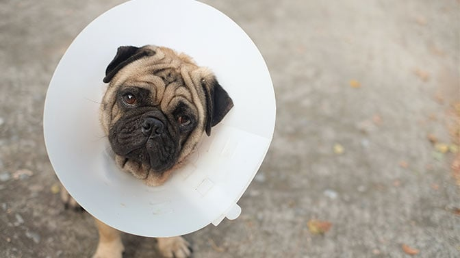 pug wearing a cone