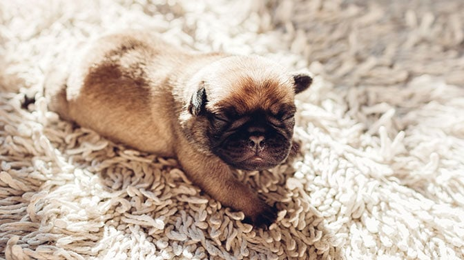 when should you neuter a Pug