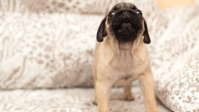 why do Pugs dig in bed