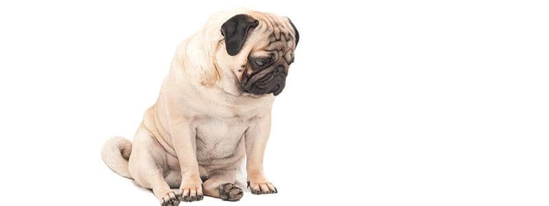 how to tell if your pug has breathing problems