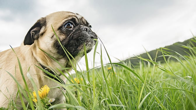Pug eating grass frantically