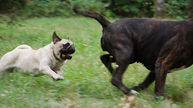 pug running and playing with dogs