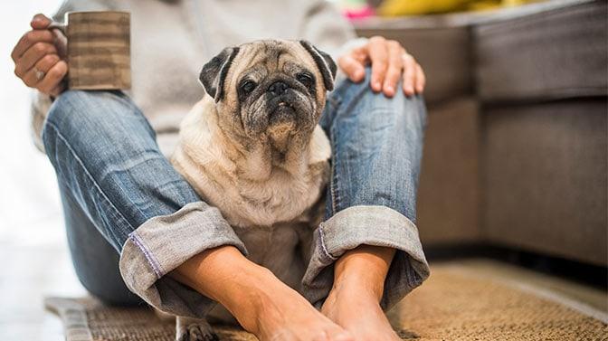Pug sitting between my legs