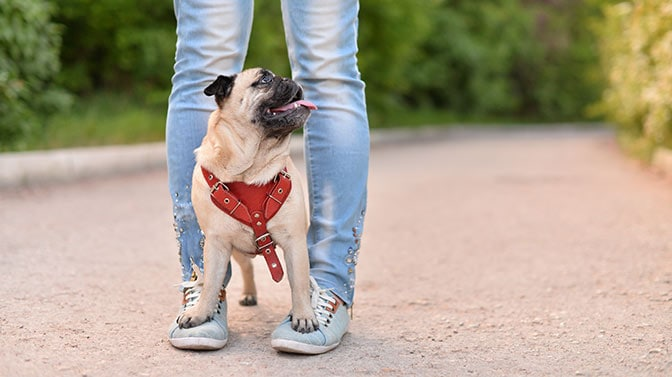 Pug standing on owners feet
