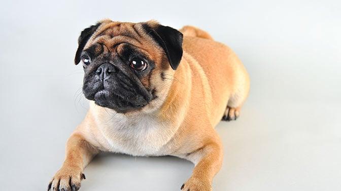 pug with flatulence