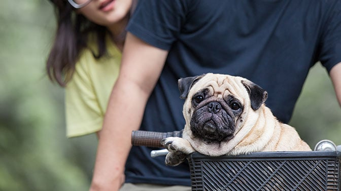 Pugs love to go for bike rides
