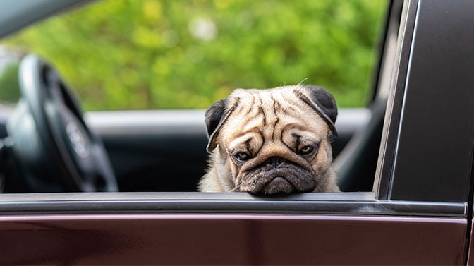 why are pugs always sad