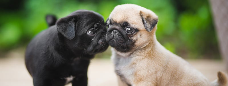 why do Pugs lick other dogs ears