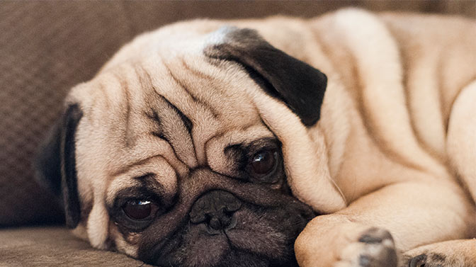why does my pug fart