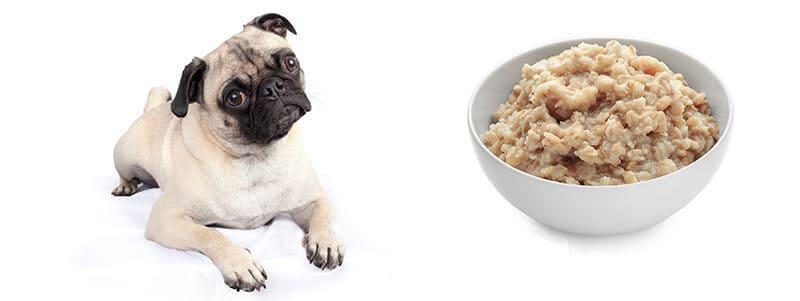 can pugs eat oatmeal
