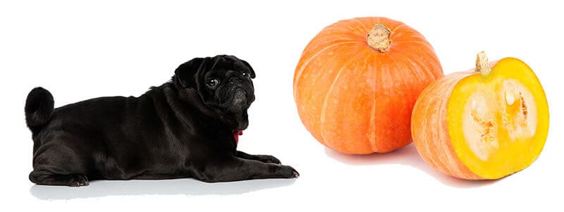 can pugs eat pumpkin