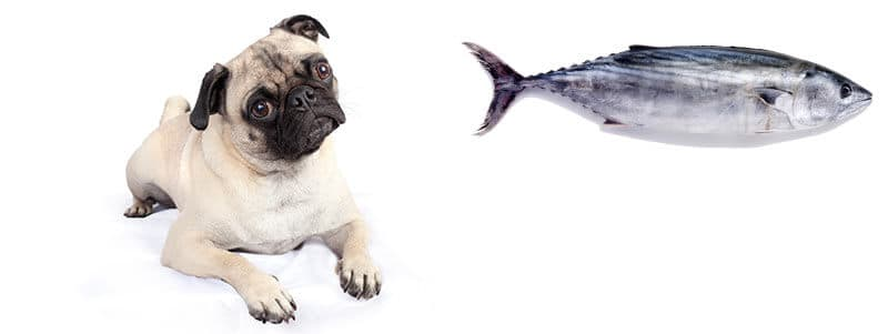 can pugs eat tuna