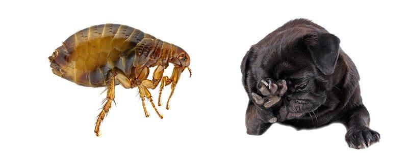 can pugs get fleas