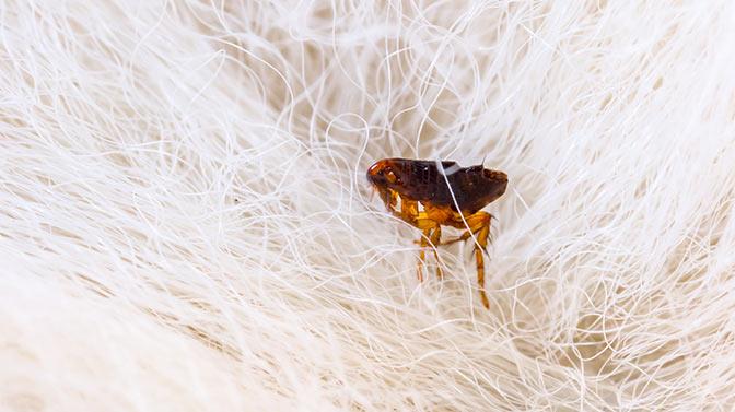 fleas on pug