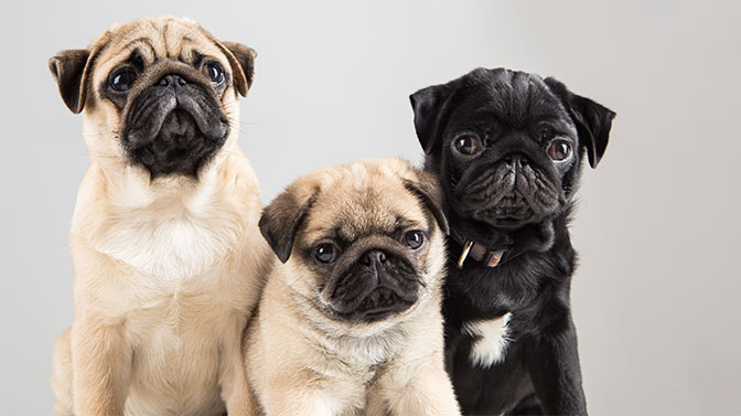 how are pug puppies