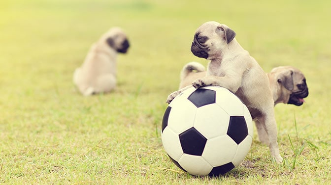 Pug puppies are playful