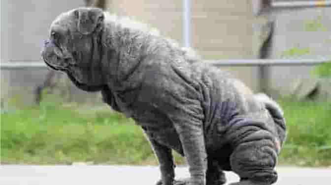 pug skin disease