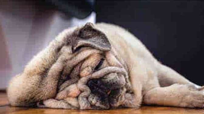 Pug skin irritation