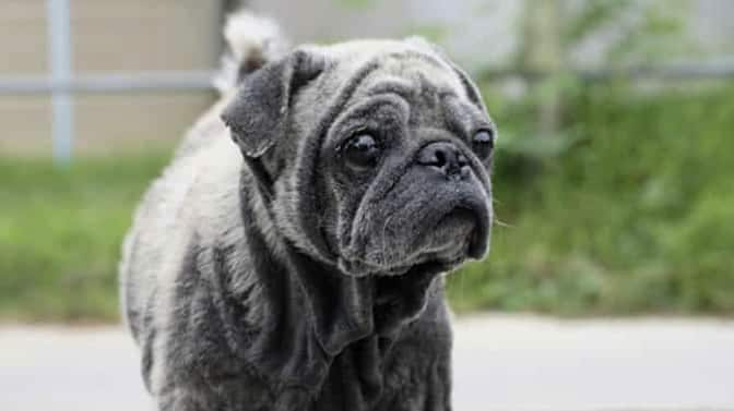 skin problems in pugs